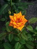 Oranjegeel nam toe royalty-vrije stock fotografie