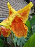 Oranjegele Bloem Stock Foto