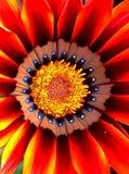 Oranjegele Daisy Beauty Royalty-vrije Stock Foto's