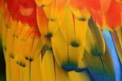 Oranjegele en blauwe veren Stock Foto's