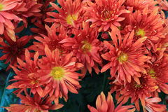 Oranjerode Daisy Royalty-vrije Stock Foto
