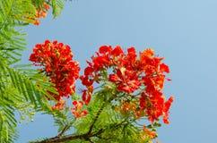 Oranjerode Pauwbloem Royalty-vrije Stock Foto's