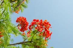 Oranjerode Pauwbloem Royalty-vrije Stock Foto