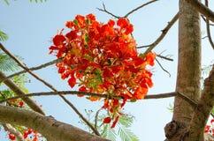 Oranjerode Pauwbloem Stock Foto