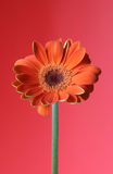 Oranjerood Stock Foto's