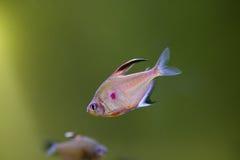 Orantus рыб аквариума Стоковое Фото