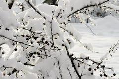 Orario invernale dei rami e delle bacche di albero coperti di neve Fotografia Stock