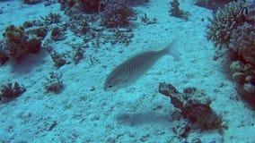 Orata araba del threadfin in mare tropicale sulla barriera corallina stock footage