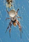 Orb Spider. Australian Golden Orb Weaver Spider Royalty Free Stock Images