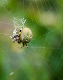 Orb spider Royalty Free Stock Images