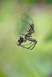 Orb spider eating prey Royalty Free Stock Photo