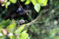 Orb spider having lunch Stock Images