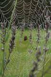 An orb spider in the middle of its dew covered web Stock Image