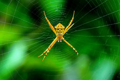 Orb Spider or Signature spider and web Royalty Free Stock Photo