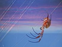Orb Spider Weaving Web Royalty Free Stock Photos
