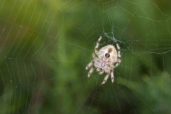 Orb Spider on Web Against Lush Green Foliage Stock Photography