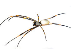 Orb spider. On a white background Royalty Free Stock Photography