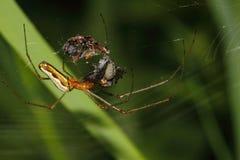 Orb-vävare spindel (Araneidae) royaltyfri bild