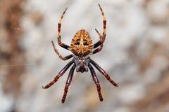 Orb-vävare spindelspindel, Madagascar djurliv royaltyfri bild