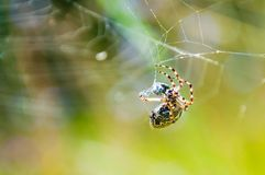 Orb-vävaren spindeln Araneid fångade ett rov på hans spiderweb och att starta för att trassla den med rengöringsduktrådar till arkivbilder