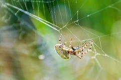 Orb-vävaren spindeln Araneid fångade ett rov på hans spiderweb och att starta för att trassla den med rengöringsduktrådar till royaltyfri foto
