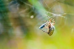 Orb-vävaren spindeln Araneid fångade ett rov på hans spiderweb och att starta för att trassla den med rengöringsduktrådar till royaltyfri fotografi