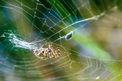Orb-vävaren spindeln Araneid fångade ett rov på hans spiderweb och trasslade det med rengöringsduktrådar till fotografering för bildbyråer