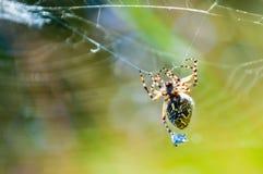 Orb-vävaren spindeln Araneid fångade ett rov på hans spiderweb och trasslade det med rengöringsduktrådar till royaltyfria bilder