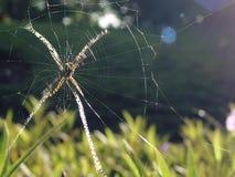 Orb-waver spindeln i rengöringsduk arkivfoto