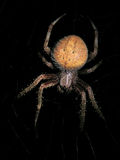 Orb Weaver. A spider at night sitting on his web Stock Photos