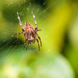Orb Weaver. A female orb weaver spider sits in her lair stock images