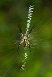 Orb-weaver garden spider Stock Photos
