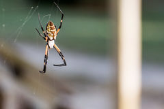 Orb Weaver Garden Spider Royalty Free Stock Photo