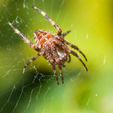 Orb Weaver Lair Stock Images