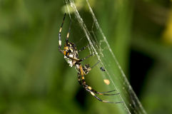 Orb-weaver Silver Argiope Royalty Free Stock Photos