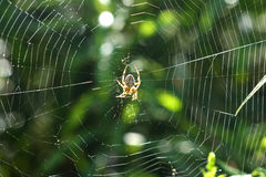 Orb Weaver Spider Royalty Free Stock Image