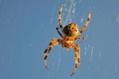 Orb-weaver spider. Typical orb-weaver spider on web in sunlight Royalty Free Stock Photos