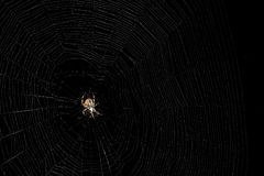 Orb Weaver Spider Royalty Free Stock Photos