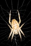 Orb weaver spider. Found near Seattle Washington Royalty Free Stock Images