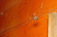 Orb Weaver Spider arkivbild