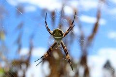 Orb Weaver Spider Against Blue Sky royaltyfria bilder