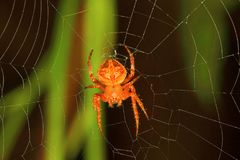 Orb-weaver spider, Araneidae , Aarey Milk Colony , INDIA. Orb-weaver spiders or araneids are members of the spider family Araneidae Stock Photography