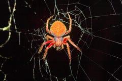 Orb-weaver spider, Araneidae , Aarey Milk Colony , INDIA. Orb-weaver spiders or araneids are members of the spider family Araneidae Stock Image