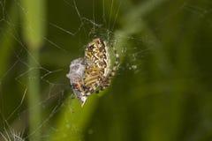 Orb-weaver spider (Araneus) Royalty Free Stock Image