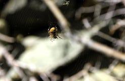 Orb Weaver Spider (araneusen) arkivfoton