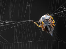 Orb-Weaver Spider Stock Photo
