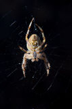 Orb Weaver Spider Royalty Free Stock Photography