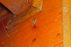 Orb Weaver Spider in the Corner Stock Photography