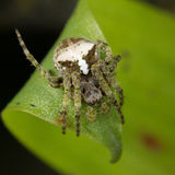 Orb weaver spider from Ecuador Royalty Free Stock Photography