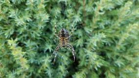 Orb Weaver Spider i en rengöringsduk royaltyfria bilder